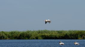 Pelicans in the Danube Delta royalty free stock photography