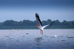 Pelicans from Danube Delta. A flying pelican from Danube Delta, Romania, on blue background Royalty Free Stock Photo