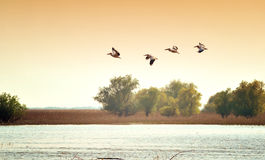 Pelicans. Danube Delta landscape with flying pelicans on the sunset stock photo