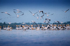 Pelicans from Danube Delta. Lots of pelicans flying, on a lake from Danube Delta, Romania Royalty Free Stock Photo