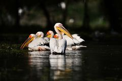 Pelicans in Danube Delta. In Romania royalty free stock images