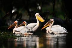 Pelicans in Danube Delta Stock Photo