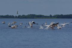 Pelicans in Danube Delta. Pelicans are large birds with big pouched bills and long wings. More that 50% of white pelicans breed in the Danube Delta near the royalty free stock photography
