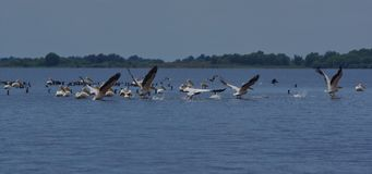 Pelicans in Danube Delta 3. Pelicans are large birds with big pouched bills and long wings. More that 50% of white pelicans breed in the Danube Delta near the royalty free stock images