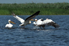 Pelicans in the Danube delta Stock Photos