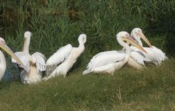 Pelicans. In the Danube Delta,Romania Stock Images
