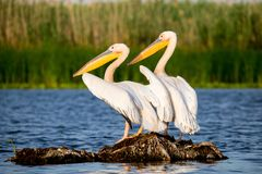 Pelicans in Danube Delta Romania royalty free stock photo