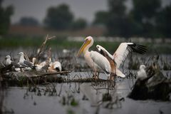 Pelicans in Danube Delta. In Romania royalty free stock photography