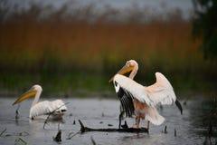Pelicans in Danube Delta. In Romania stock images