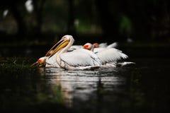 Pelicans in Danube Delta. In Romania stock photo