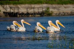 Pelicans in the Danube Delta. Wildlife birds and birdwatching photography and a common sighting for tourists in the Danube Delta, Eastern Europe, Romania royalty free stock photo