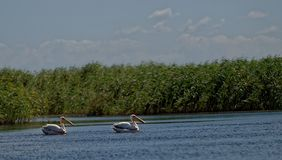 Pelicans on Danube River surface. Two pelicans on the Danube River surface at the Danube Delta, Romania stock photos