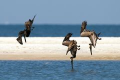Pelicans diving for fish Royalty Free Stock Photos