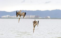 Pelicans Diving royalty free stock photo