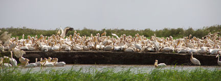 Pelicans in the Djoudj National park Stock Photo
