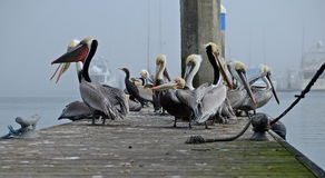 Grounded. California brown pelicans congregate on a dock in fog Royalty Free Stock Photo