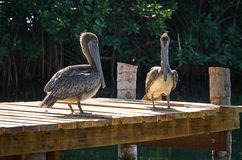 Pelicans on the Dock Stock Image