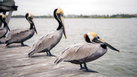 Pelicans on a dock Royalty Free Stock Image