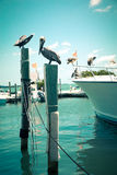 Pelicans at dock. Toned nautical scene with pelicans on wooden post at pier with boat in the background royalty free stock photography