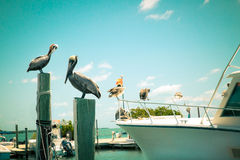 Pelicans at dock. Toned nautical scene with pelicans on wooden post at pier with boat in the background royalty free stock image