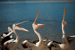 Pelicans, doe rei me Stock Photography