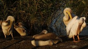 Pelicans drying their feathers stock footage