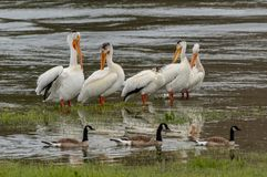 Pelicans and Ducks in Shallow Lake. Waters stock photo