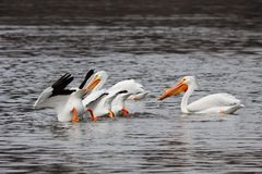 Pelicans Eating Feet in the Air. Three pelicans feed underwater with their rear ends up in the air. They are aloof to another though he provides sentinel duty stock images