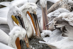 Pelicans Eating Fish. Animals Detail royalty free stock photo