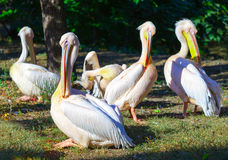 Pelicans enjoying the summer sun royalty free stock images
