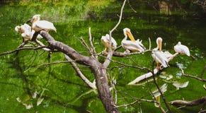 Pelicans are sunbathing stock photo