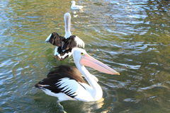Pelicans. Enjoying on the water stock image