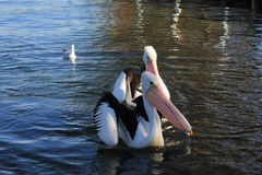 Pelicans. Enjoying on the water royalty free stock photo