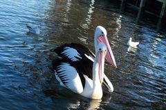 Pelicans. Enjoying on the water stock images