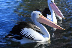 Pelicans. Enjoying on the water royalty free stock photos