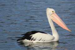 Pelicans. Enjoying on the water stock photo