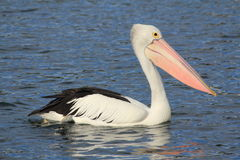 Pelicans. Enjoying on the water stock photos