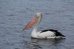 Pelicans stock image
