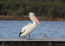 Pelicans. Enjoying on the water royalty free stock image
