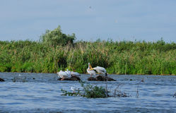 Pelicans family. Danube delta Romania Royalty Free Stock Photography