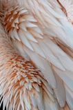 Pelicans feather. Smooth abstract of pink pelicans feather Royalty Free Stock Image