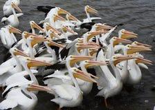 Pelicans. Feeding Central Florida wildlife stock photos