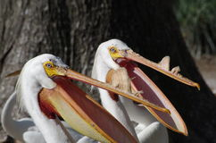 Pelicans feeding. Two pelicans waiting to catch fish thrown their way during feeding time at the San Antonio Zoo Stock Images
