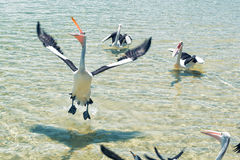 Pelicans feeding in the water Stock Photography