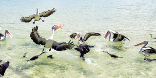 Pelicans feeding in the water Stock Images
