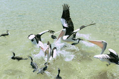 Pelicans feeding in the water Royalty Free Stock Photo