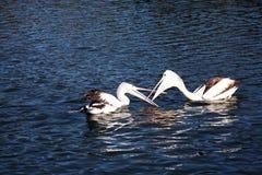 Pelicans fighting Stock Photos