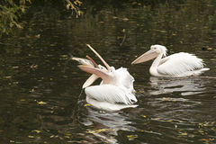 Pelicans fighting for a big fish to eat Royalty Free Stock Photo