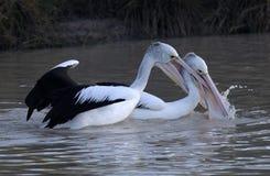 Pelicans fighting stock photo