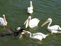 Pelicans. Fighting over food with Coot royalty free stock image